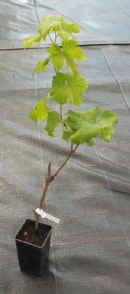 Виноград Ландыш, P11 фото