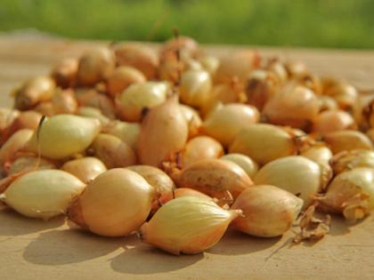 Семена лука-севка Сеншуй F1, 1кг, Голландия фото