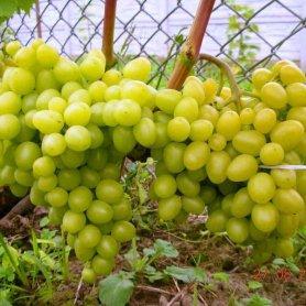 Виноград Аркадия, P11 фото