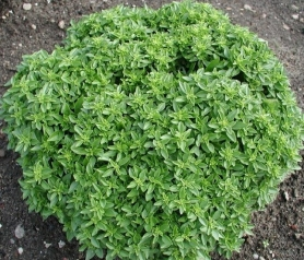 Базилик кустовой Меджик Вайт, C3 фото