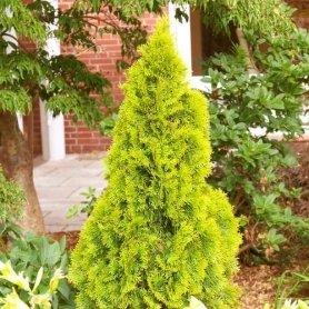 Туя западная Golden Smaragd, P9 фото