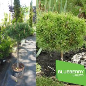 Сосна черная (Pinus nigra) Brepo, горшок С7.5 Pa 35-50 фото