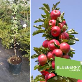 Яблоня колоновидная Джин красный, 2-х летняя, горшок C5 фото